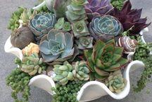 Succulent/gardening