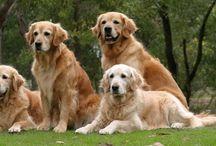 Honden goldens