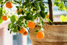 Dwarf Fruit Trees for Small Gardens & Courtyards