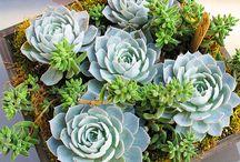 sukelenty - kaktusy