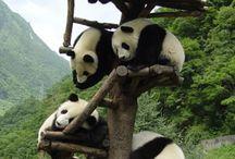 panda colic