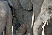 I really like elephants