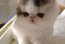 Exotic kitten