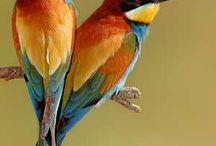 Bee-Eaters / Bee-eaters are a family of colorful birds found in the Old World.  They belong to the same order as Kingfishers and Rollers.  Yes, they really do eat bees! / by Sandra Hazen