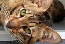 Sittingpretty Savannah cats