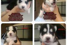 "Jual anjing Siberian Husky ""Blue Eyes"""