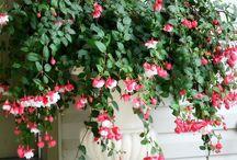 Květina  fuchsie