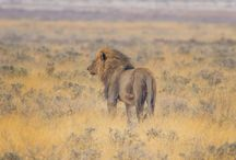 Wildlife and the Big Five in Africa / Wildlife and the Big Five in Namibia and Botswana