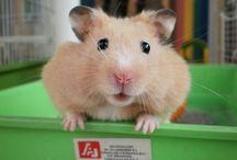 Hamsters / Hamster sirio