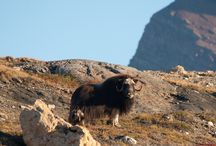 Musk Oxen / Musk Oxen are among the few hooved animals to survive the last ice age, these goat-like creatures have an underlayer of fur that is one of the world's warmest natural fibers.