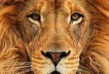 Lev- prečo?