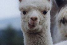 Fiber Animals / Our favorite pins of alpaca, llama, sheep, yak, goats, and more.