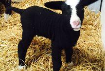 Black Sheep / Gorgeous Zwartbles sheep and lambs