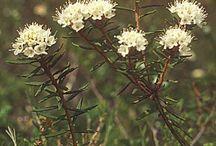 Luonnon kukkia