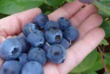 blueberry gardening