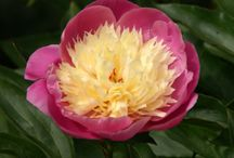Alternative peonies / Substitutes for 'Bowl of Beauty' and 'Duchesse de Nemours'