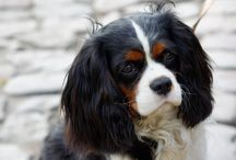 cavalier king charles tricolores