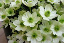 afrodite's flowers