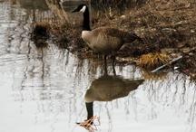 Birds (My Photos) / #Geese, #chickadees, #robins, #cardinals and more... #birds from everywhere. www.shadyridgephotography.com