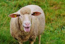 Super owieczki / #superowce