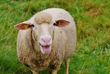 Owce na wypasie