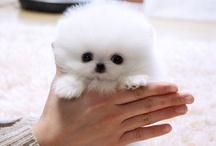 Pomeranian Stuff