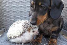 Hunder / Dasch og huskey