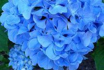 Cum putem modifica culorile hortensiei