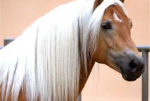 Animals - Horses - Haflinger