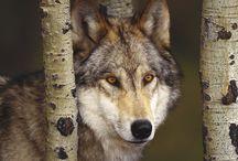 Tapety - zwierzęta - wilki