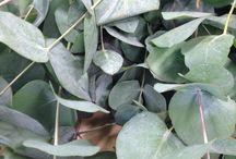 Blomsterliste Eucalyptus familien