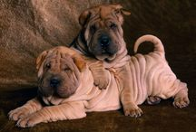 Shar Pei's / I love Shar Pei's - I have a rescue and a Shar Pei mix.  Love their quirky personalities! / by Pamela Germanos