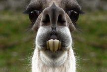 llamas / by Melody Arnold