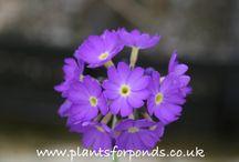 Purple Flowering Pond Plants