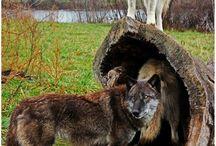 Ο φίλος μας ο λύκος