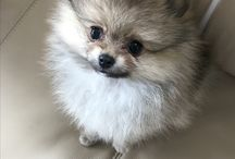 Coco Pomeranian