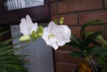 Primeiras Orquídeas