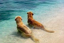 golden e labrador