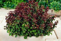 kyslomilne rastliny