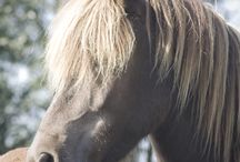 Icelandic horses / Photos of Icelandic horses