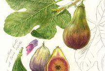 botanicals & pomology / botanical, pomology & garden friends -  artworks, color plates, illustrations - vintage and contemporary.