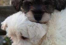 minischnauzer puppies