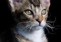 LaPerm / Cat