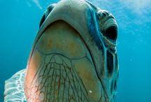 Sea turtles snorkelling