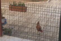 ZiİLLİ ve ÇETESİ / Tavuk Filom