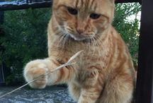 Oreste / My red cat