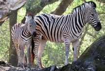 Zebras / All Zebras / by Safari West
