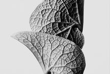 Botanical Art / Botanical forms, especially those captured by the photographer/ design teacher Karl Blossfeldt
