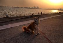 Animals/Dogs/Shiba