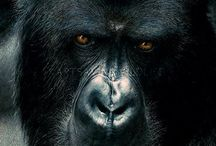 Great Apes / Great ape wildlife art